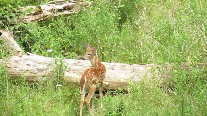 Deer near the walking trail London, Ontario Canada