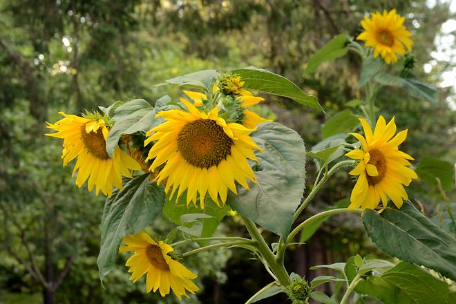 Sunflowers Deep River, Ontario Canada