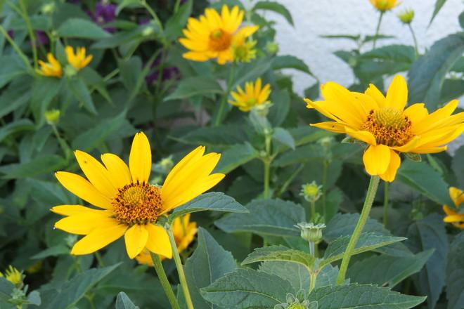 sun flowers Brandon, Manitoba Canada
