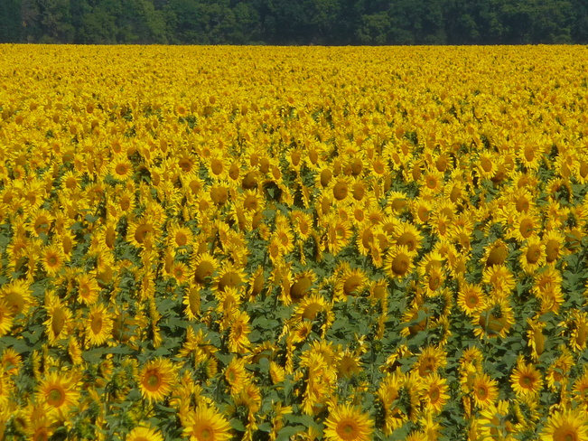 The Sunflower Garden Dominion City, Manitoba Canada