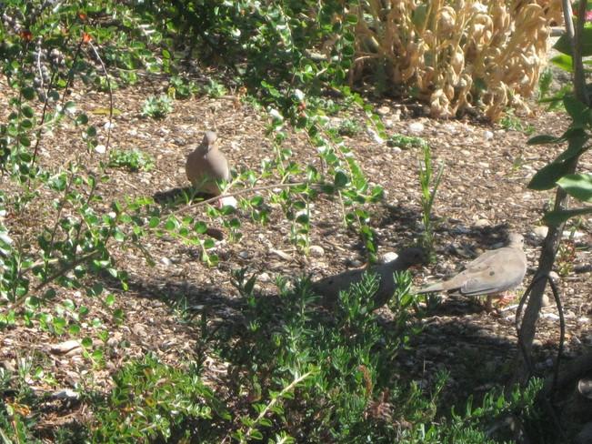 doves running around in circles.. Surrey, British Columbia Canada
