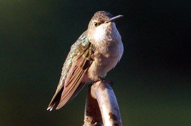 Ruby Throat Hummingbird Female Olds, Alberta Canada
