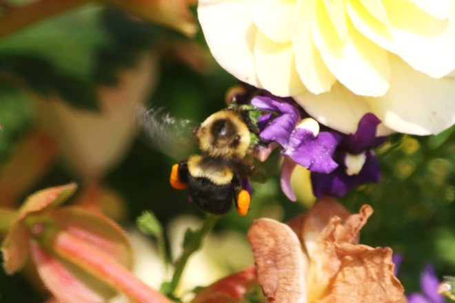 Loaded with pollen! Belleville, Ontario Canada