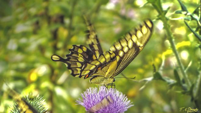 Fluttering Giant Swallowtail Smiths Falls, Ontario Canada