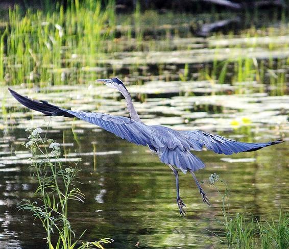 Blue Heron Kenora, Ontario Canada