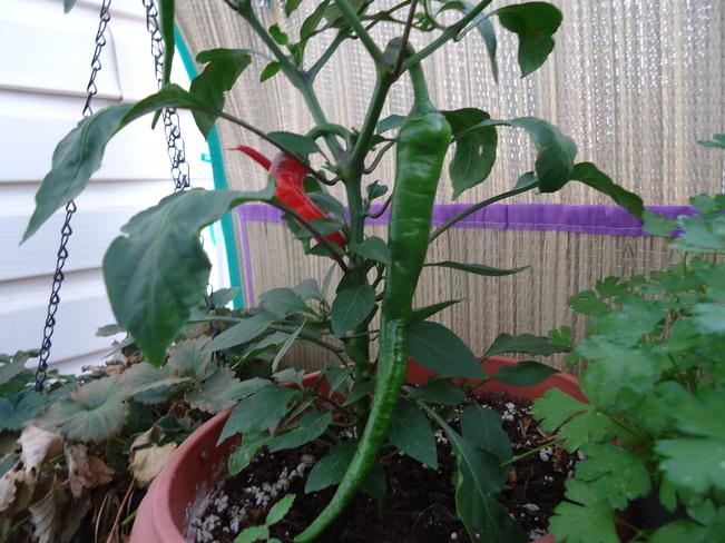 The longest Green chilli pepper Edmonton, Alberta Canada
