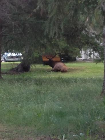 elk Banff, Alberta Canada