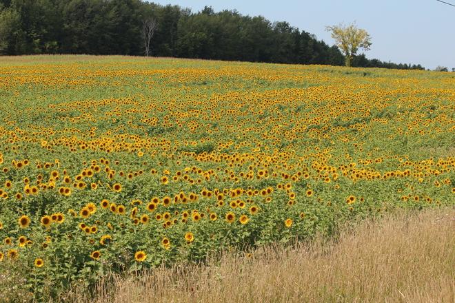 Field of Sunflowers Paisley, Ontario Canada