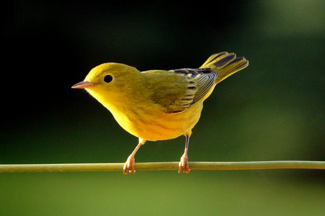 Yellow Warbler Olds, Alberta Canada