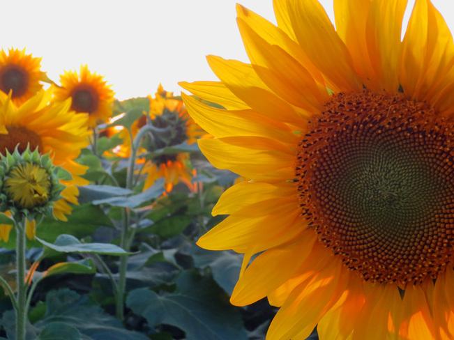 Sunny Sunflowers Caledon East, Ontario Canada