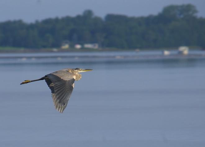 Great Blue Heron Bathurst, New Brunswick Canada