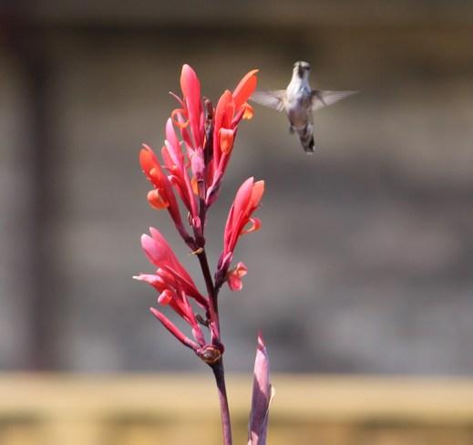 Hummimg Bird Brantford, Ontario Canada