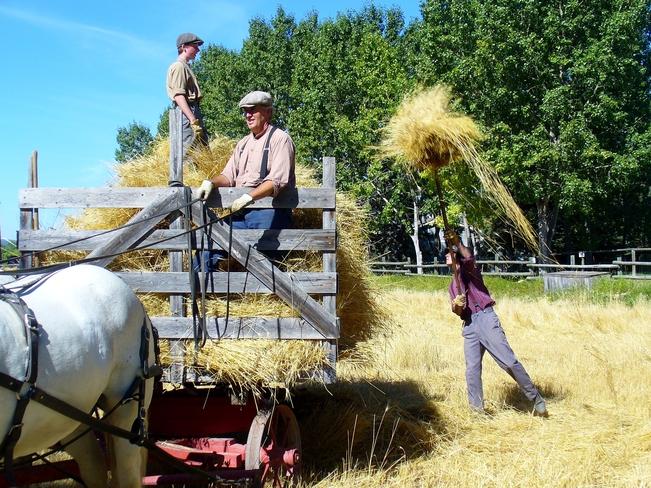 Bringing in the Fall Wheat at Heritage Park Calgary, Alberta Canada