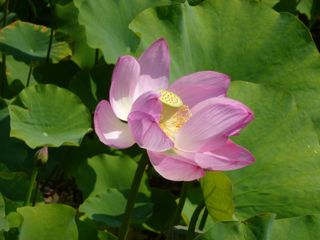 Lotus flower Montréal, Quebec Canada