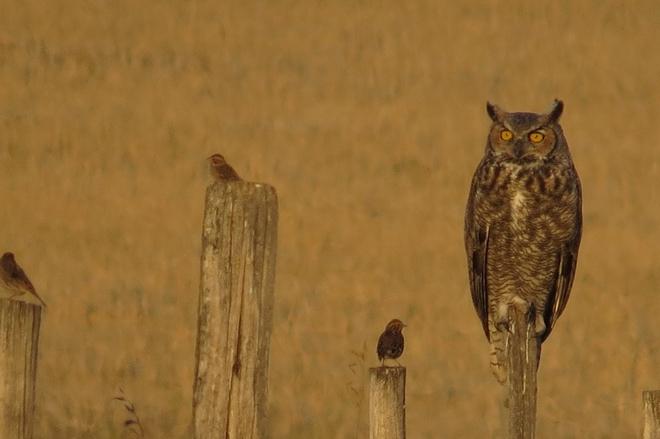 big owl and little birds Bow Island, Alberta Canada