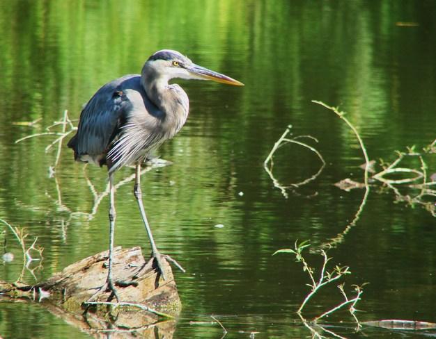 Great Blue Heron Stratford, Ontario Canada