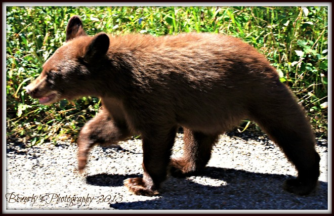 A young cinnamon bear Waterton Park, Alberta Canada