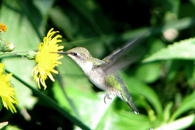 Hummingbird Lundar Beach, Manitoba Canada