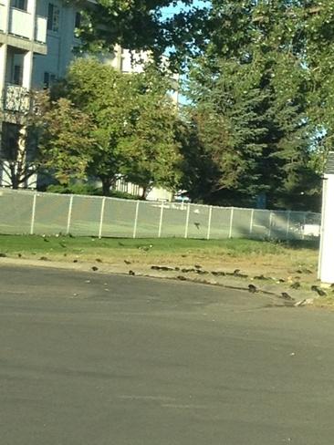 being invade by birds Brooks, Alberta Canada