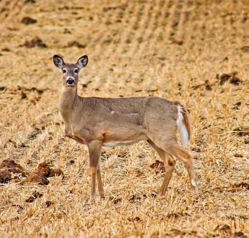 Whitetail Deer Vilna, Alberta Canada