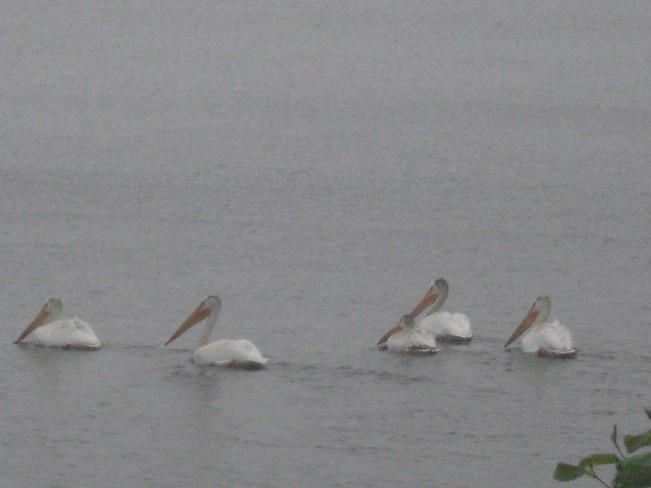 Pelicans Thunder Bay, Ontario Canada