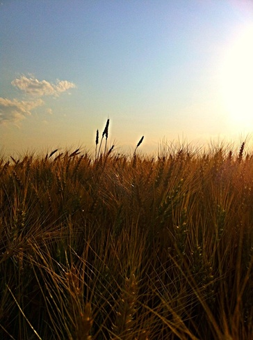 Saskatchewan Wheat Saskatoon, Saskatchewan Canada