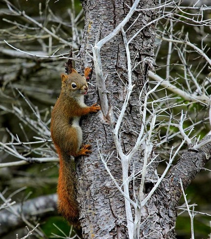 Yard squirrels Mount Pearl, Newfoundland and Labrador Canada