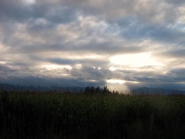 Corn Field in Courtenay Courtenay, British Columbia Canada