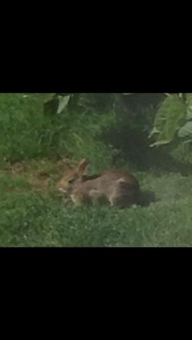 Little Bunny in our garden Saanich, British Columbia Canada