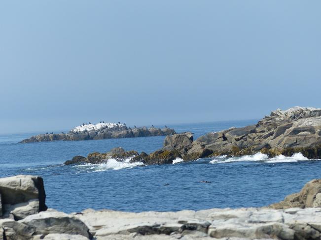 Cormorants and eider ducks Shelburne, Nova Scotia Canada