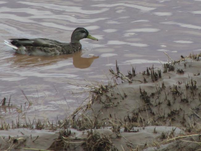 Duck Enjoying life Moncton, New Brunswick Canada
