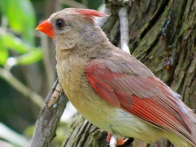 the cardinal Mississauga, Ontario Canada