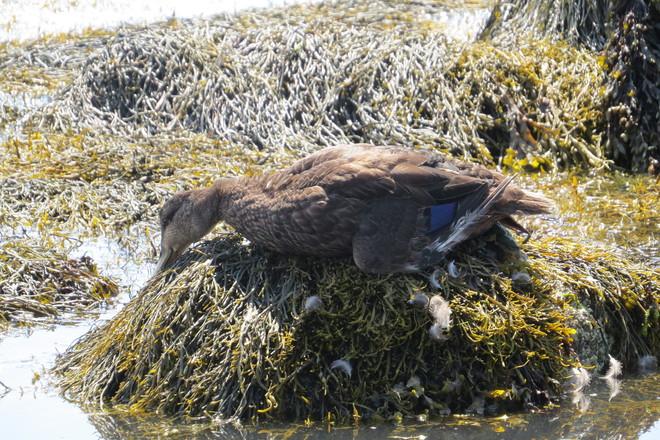 American Black Duck (Anas rubripes) Chester, Nova Scotia Canada
