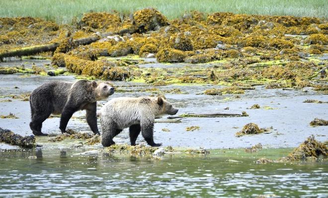 Grizzly Mom & Cub Telegraph Cove, British Columbia Canada