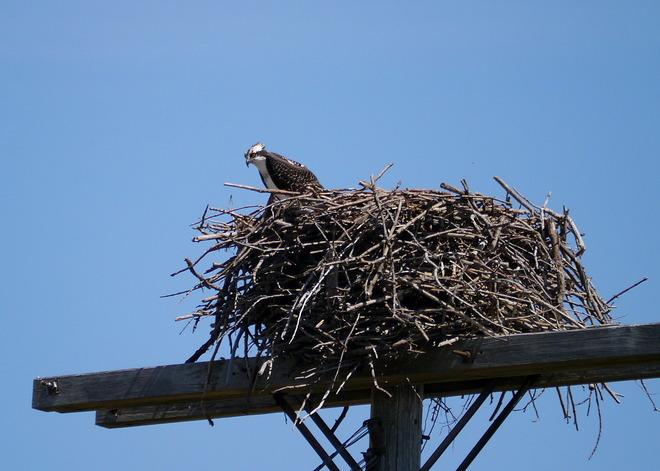 osprey nesting Kingston, Ontario Canada