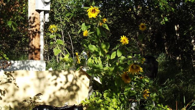 Sunflowers Thunder Bay, Ontario Canada