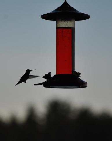 night feeder Trout Lake, Ontario Canada