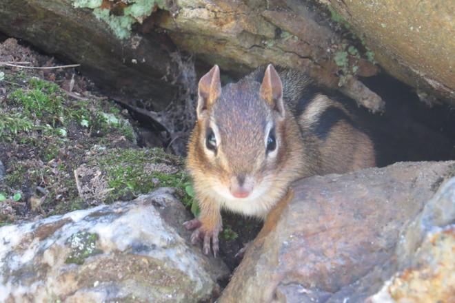 Curious chipmunk Timmins, Ontario Canada