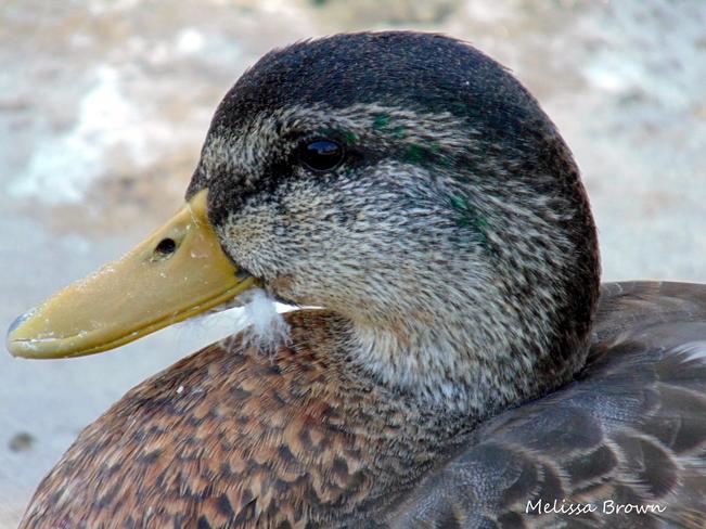 Duck Oakville, Ontario Canada