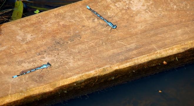 Common Blue Damselflies Sackville, New Brunswick Canada