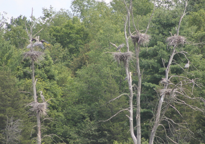 Nesting Herons! Brockville, Ontario Canada