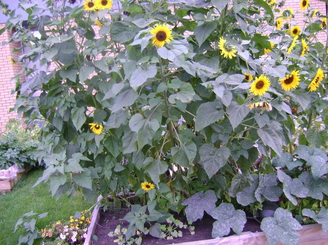 Sunflowers at the School Saskatoon, Saskatchewan Canada