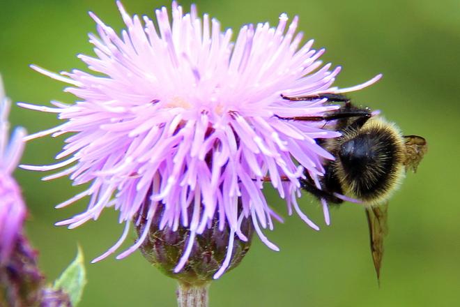 Bee in thistle Prince Albert, Saskatchewan Canada
