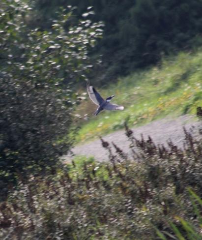 kingfisher Abbotsford, British Columbia Canada