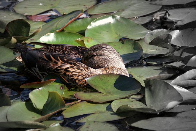 Peeking Duck Richmond, British Columbia Canada