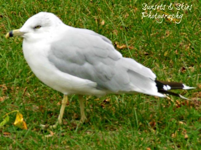 Seagull Belleville, Ontario Canada