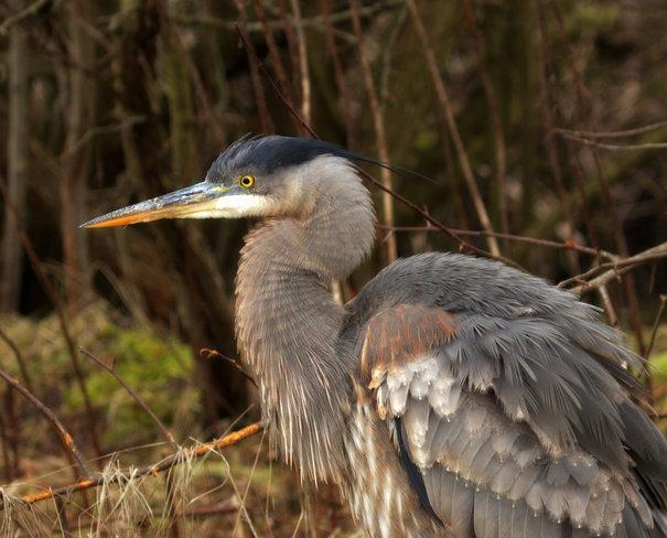 The Great Blue Heron Delta, British Columbia Canada