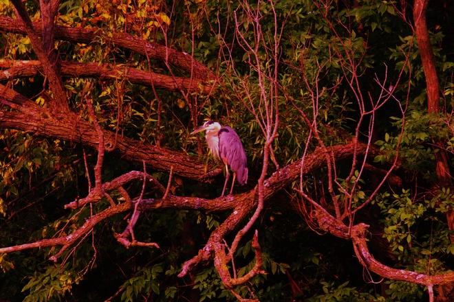 Largest prehistoric animals ' Great Blue Heron' Welland, Ontario Canada