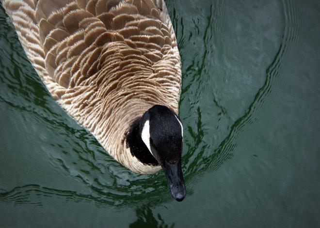 Goose Eh! North Vancouver, British Columbia Canada