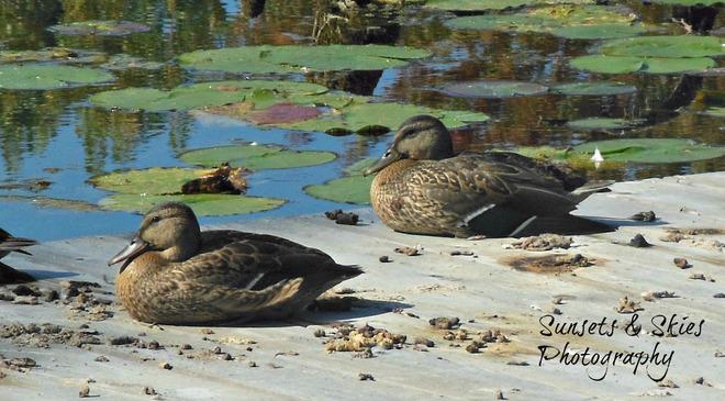 Ducks sitting in their poo eww lol Belleville, Ontario Canada